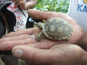 3-month-old-sulcata-tortoise