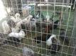 fancy-chicken-breeds
