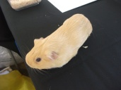 guinea-pig