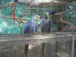 hyacinth-macaw