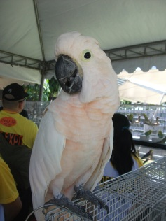 salmon-crested-cockatoo
