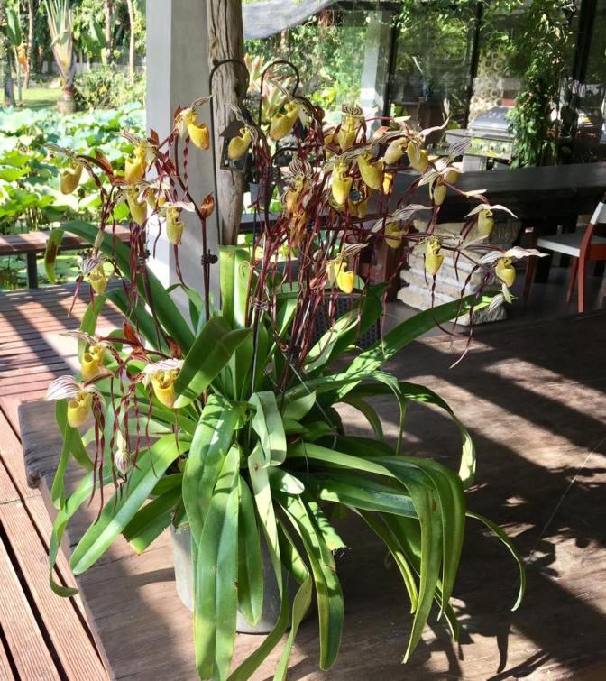Paphiopedilum philippinense blooming in Cebu