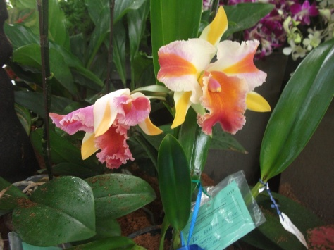 Philippine Orchid Society show 030