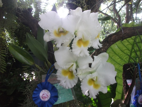 Philippine Orchid Society show 031