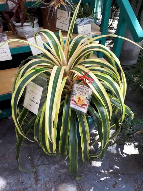 variegated ananas.jpg