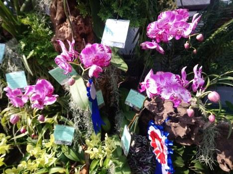 phalaenopsis-fushengs-golden-age-x-fusheng-sweet-paradise1