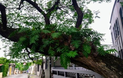 drynaria-quercifolia1