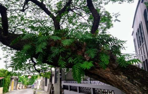 drynaria-quercifolia11