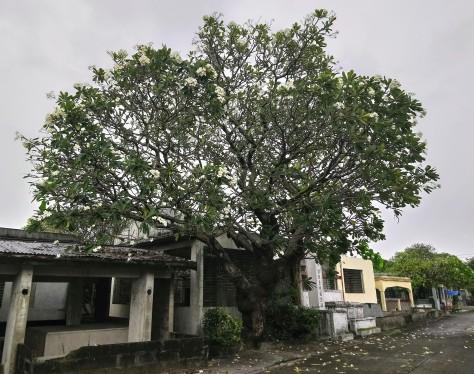 kalachuchi