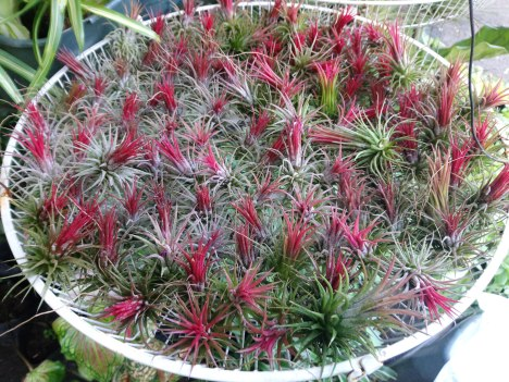 tillandsia-ionantha-red