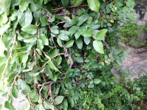 ficus-pumila-leaves