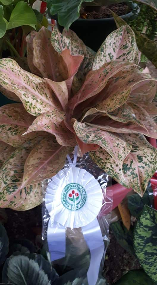 aglaonema-orange-goldstar