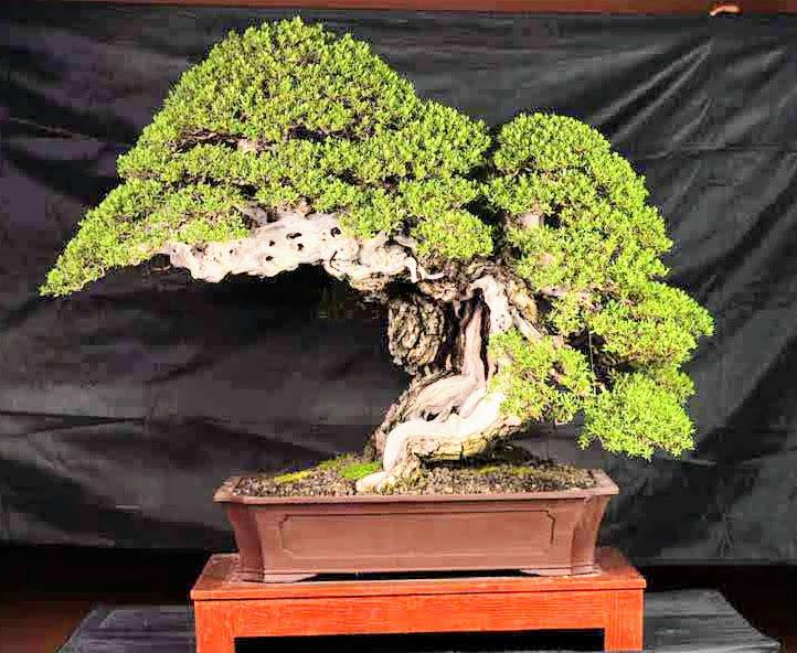 bantigue-bonsai