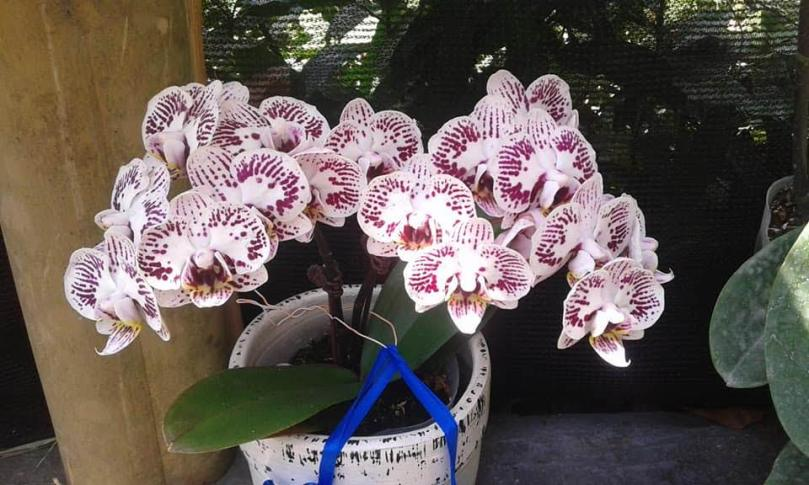 best-phalaenopsis-orchid-