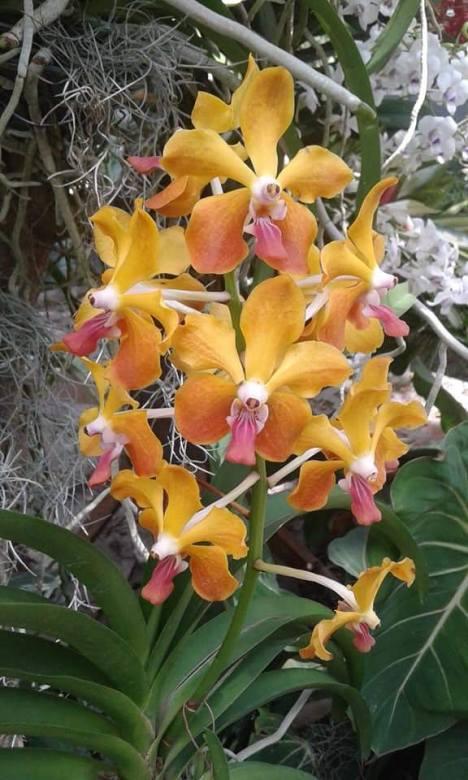best-vanda-orchid
