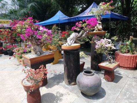 bougainvillea-exhibit-within-pots