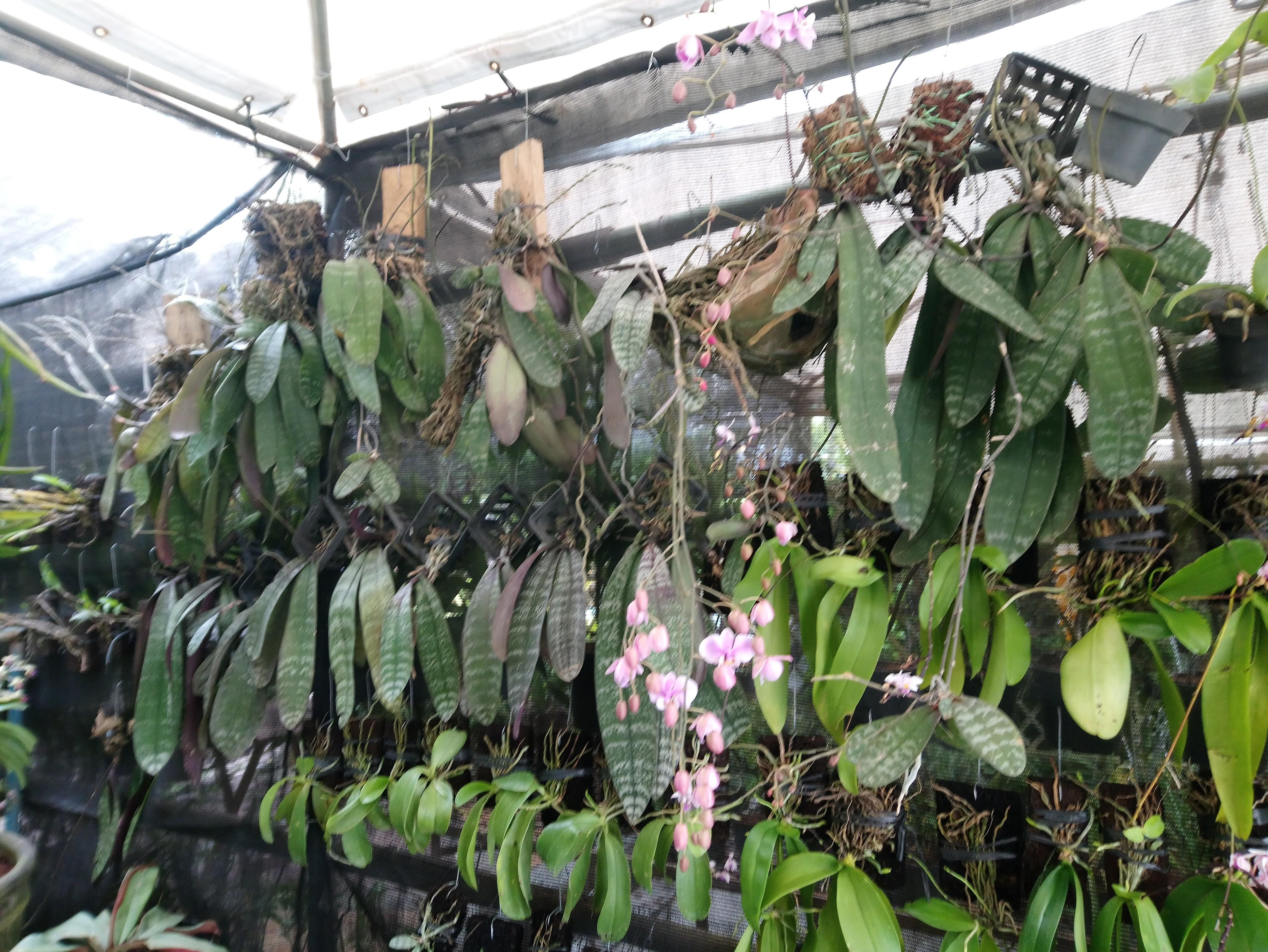 mabuhay-orchids