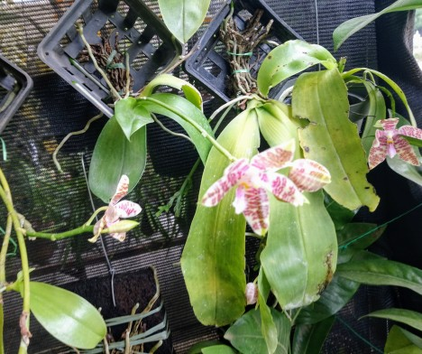phalaenopsis-hieroglyphica
