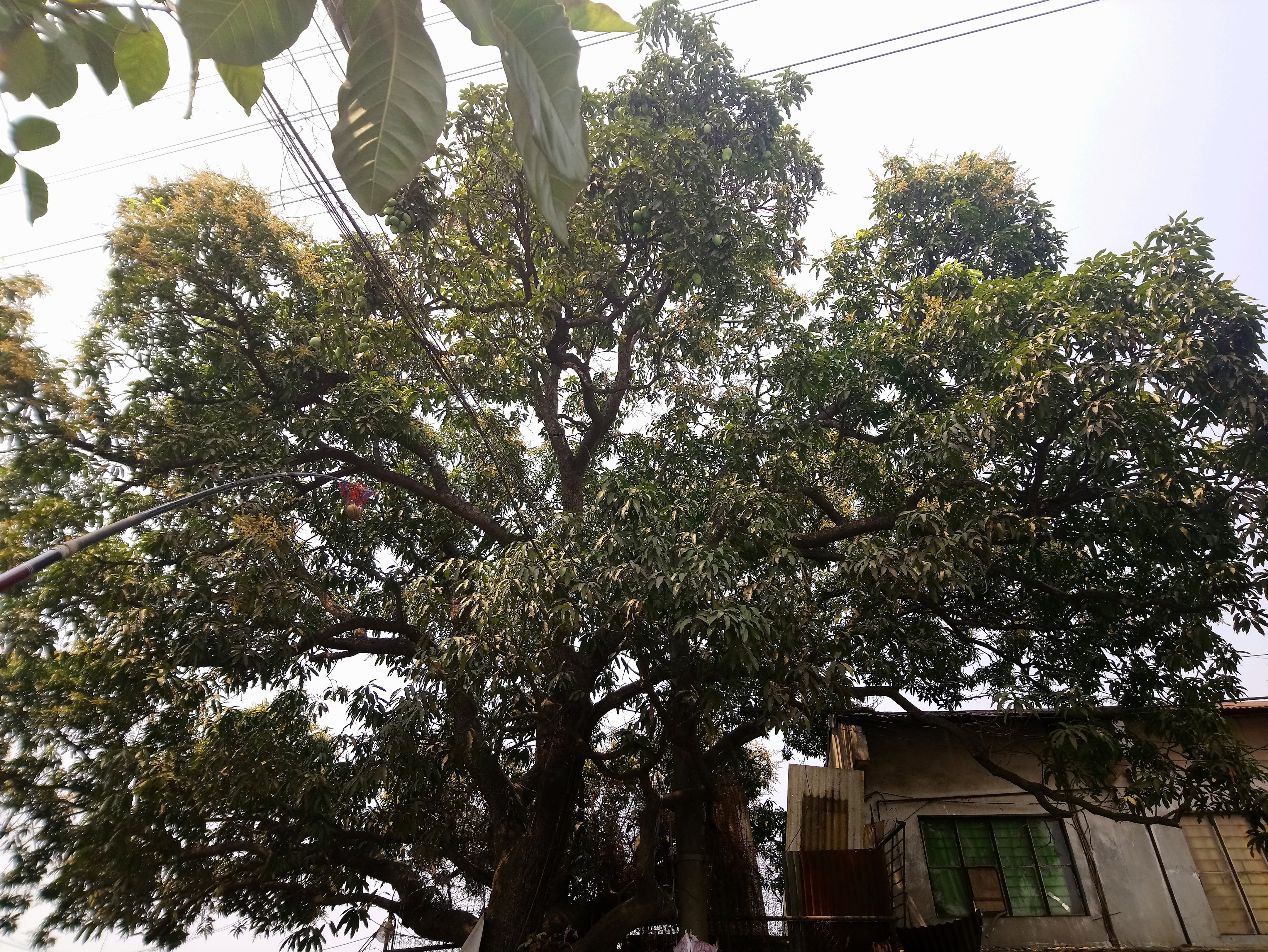 pico-mangoes