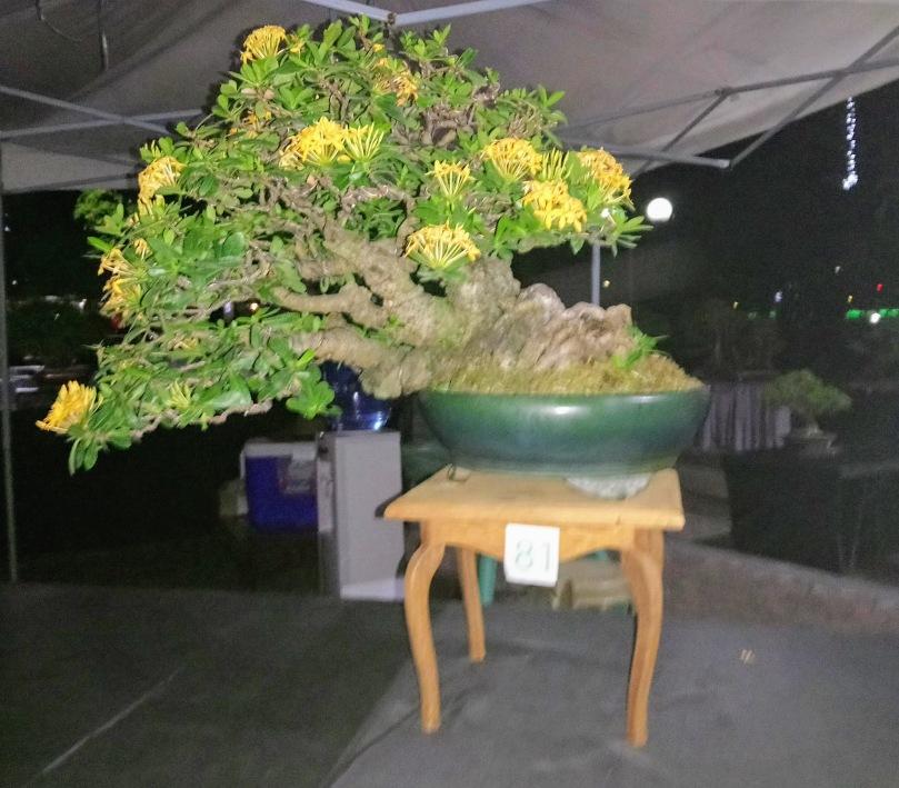 santan-bonsai-2
