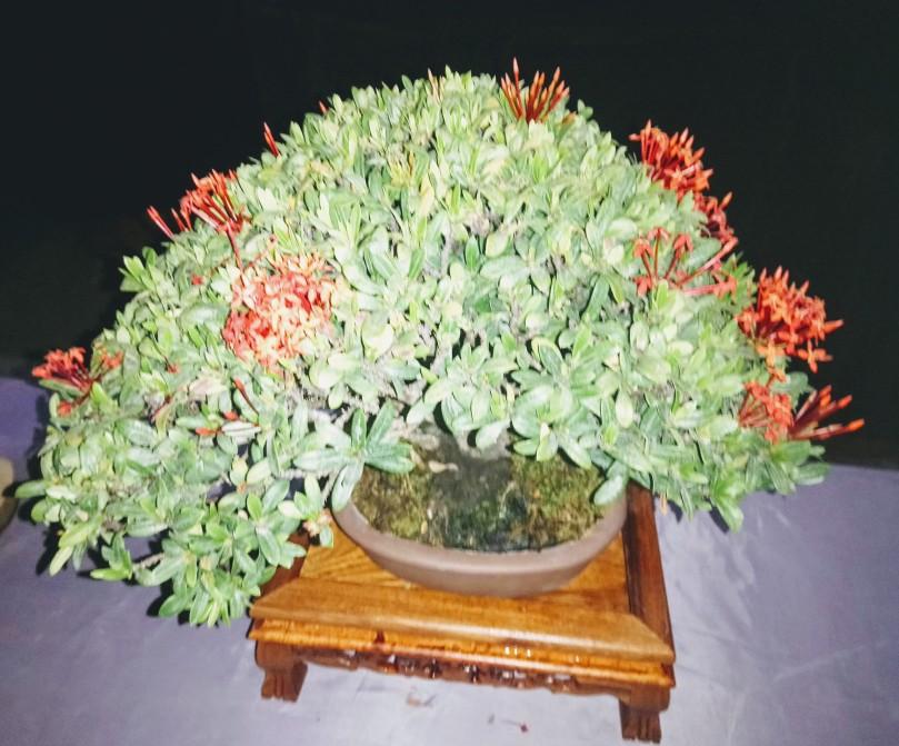 santan-bonsai