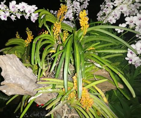 vanda-aurantiaca-sbsp-philippinense